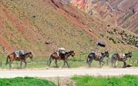four mules