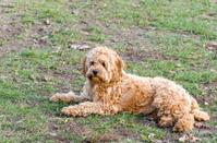 Ganarascan dog