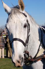 Grey racehorse