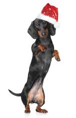 Miniature dachshund in Santa hat