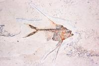 Strange fossil of fish