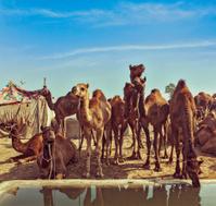 Camels at Pushkar Mela,  Rajasthan, India