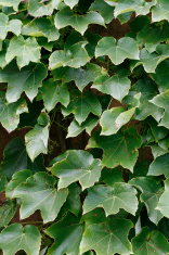 Background of Ivy