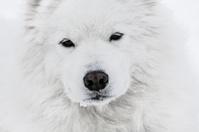 Happy Samoyed dog