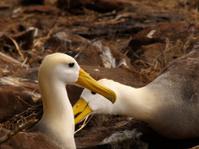 Albatros Love