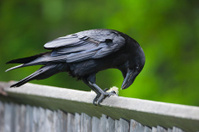 Raven feeding