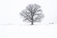 Oak on the prairie