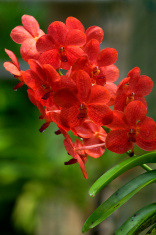 Vanda, Orchid