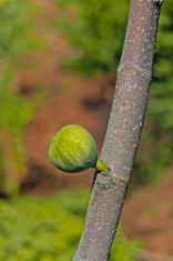 Fig Fruit, Ficus carica on tree, India