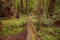 Sequoias in Humboldt Redwoods State Park, California