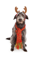 Scruffy Big Terrier With Reindeer Ears