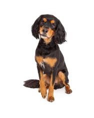 Curious Gordon Setter Mix Breed Dog Sitting