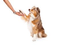 Australian Shepherd Dog Extending Paw to Human