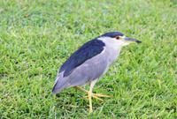 Black Crowned Night Heron on grass