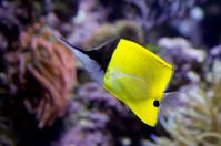 Fish-butterfly tweezers.