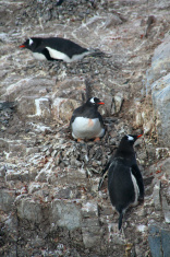 Three Gentoo penguins, nesting on rock ledges