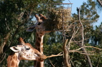 Tall animal eating