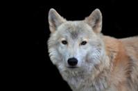 Closeup portrait of a polar wolf male.