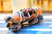 fresh serrated mud crab black in seafood market