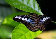 Butterfly Sylvia tiger