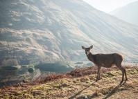 deer backlit in Scottish Highlands