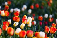 Beautiful tulips in spring