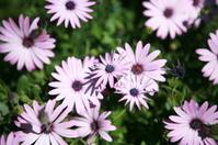 Purple flowers - Daisies