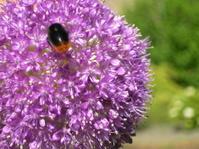 flying bee on  purple blossom