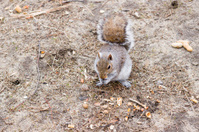 An urban squirrel