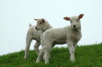 Two lambs posing