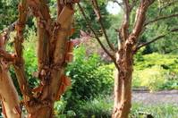 Bark peeling on trees