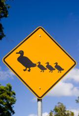 Australia - Ducks crossing