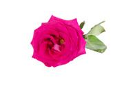 Big purple roses