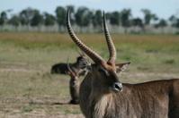 Waterbucks in masai mara