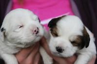 Puppy Tibetan Terriers
