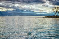 Swan in Geveva lake near Losanne