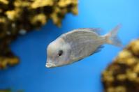 Cyrtocara moorei floats in an aquarium