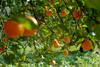 Oranges#2