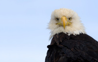 Bald Eagle - White Head with blank space on left