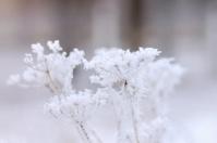 Frosty plant in winter park
