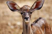 young impala antelopes