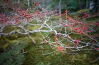 Red Berries in a Zen Garden