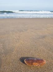 Crab shell on beach