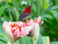 Bird fiery nectarine