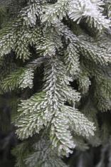 glazed frost spruce
