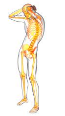 3d render medical illustration of the human skeletonl