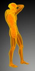 3d render medical illustration of the human anatomy