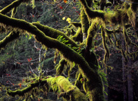 Moss Covered Trees, Silver Falls, Oregon