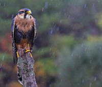 Aplomado Falcon in the Rain