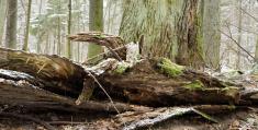 Dead tree damaged trunk lying